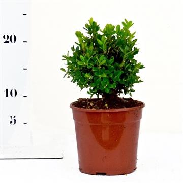 Buxus sempervirens 'Suffruticosa' 10-15cm struik
