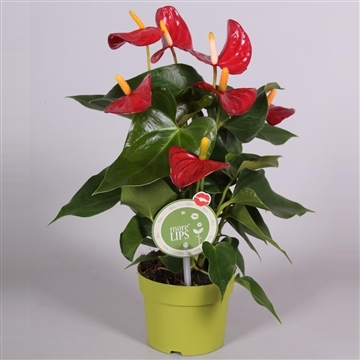 MoreLIPS® Anthurium Piccolo