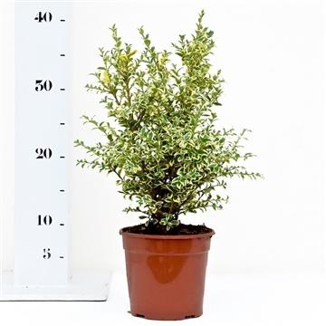 Buxus sempervirens 'Elegans' 25-30cm struik