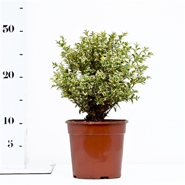 Buxus sempervirens 'Elegans' 20cm struik