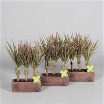 Drac Bicolor 3 stammen in Wood keramiek (Decorum)