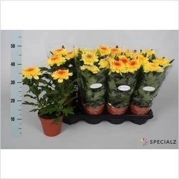 Chrysanthemum Chrysanne® 'Nova Zembla' Yellow 'Make-Upz