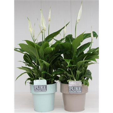 Spathiphyllum in living pot Zink
