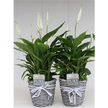 Spathiphyllum in Pure Basket II