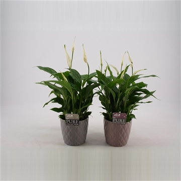 Spathiphyllum in Diamond pot