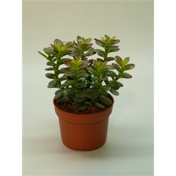 Crassula ovata 'Minor'