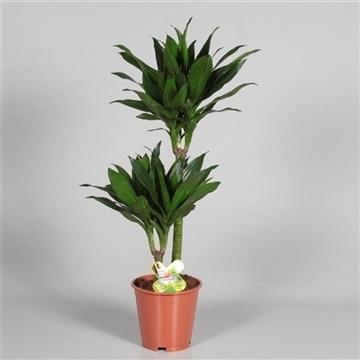 Drac Green Jewel 45-15 cm stam (Decorum)