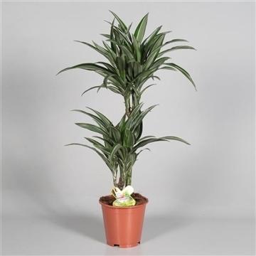 Drac Ulises 45-15  cm stam (Decorum)