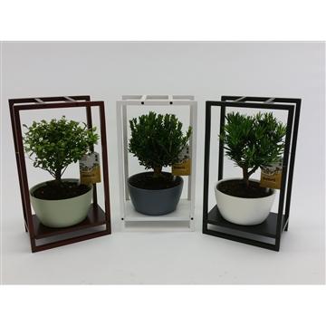 Bonsai in 'Modern Wooden Frame'