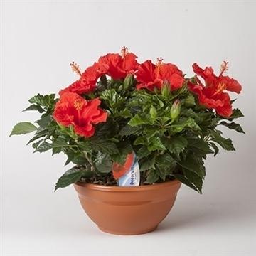 Hibiscus Bordeaux rood SCHAAL