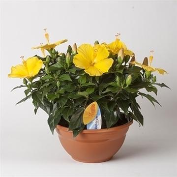 Hibiscus Starlet geel SCHAAL
