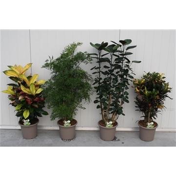 Mixlaag Croton - Polyscias P25 (Decorum)