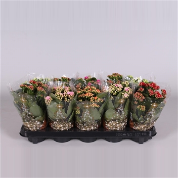 Kalanchoe bloss. gevuld mix in Kersthoes
