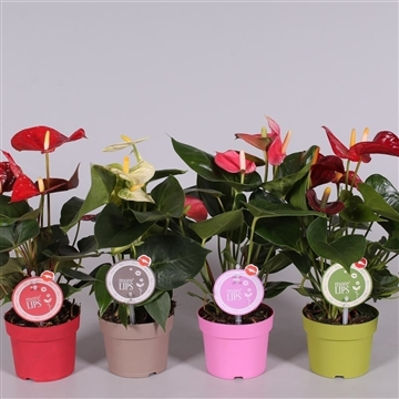 MoreLIPS® Anthurium mix
