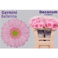 Germini water Ballerina