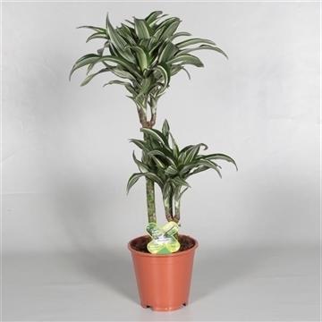 Drac Jade Jewel 45-15 cm stam 3+ kop (Decorum)