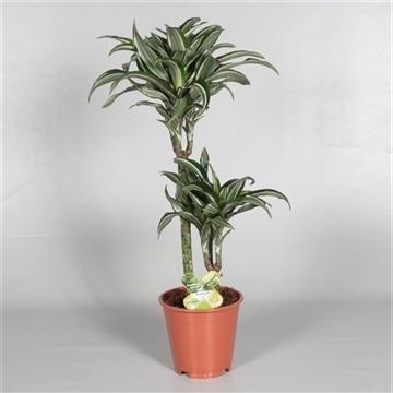 Drac Jade Jewel 45-15 cm stam 3+ kop (RUSSIA)