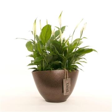 Alysia - Spathiphyllum 13 cm 'Bellini' in Sohie pot