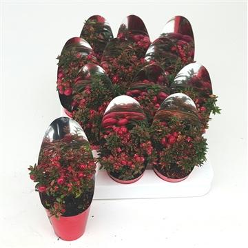 Kerst Pernetta P7 met Spiegelhoes en Glitters Rood