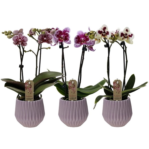 Kolibri 2 Spike Exclusive Fleur Pot 12960expi Floraxchange