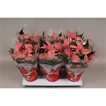 Poinsettia ''lipstick'' rose