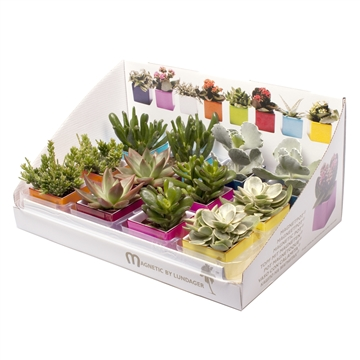 Plastic magnetic pots in display with succulent MIX