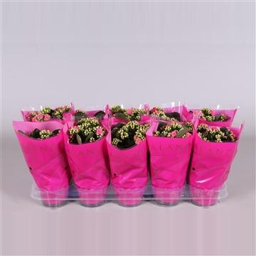 Kalanchoe bloss. gevuld Calandiva Ton sur Ton Dark Pink