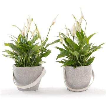 Avani - Spathiphyllum 13 cm 'Bellini' in pot Clay