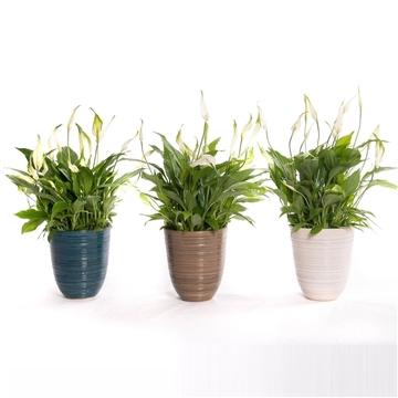 Aviva - Spathiphyllum 13 cm 'Bellini' in Calais pot