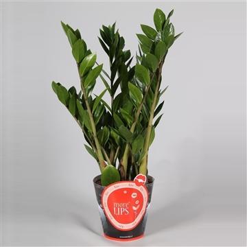 MoreLIPS® Zamioculcas Zamiifolia Zanzibar® 8+ in rode potcover