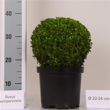 Buxus bol 22-24 cm Zwarte pot
