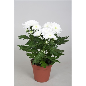 Chrysanthemum Chrysanne® 'Zembla Spray' White