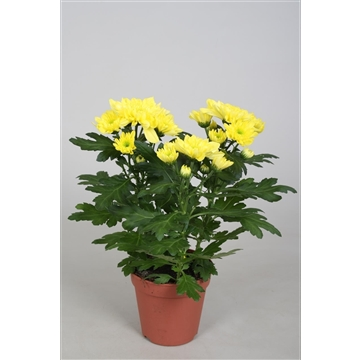 Chrysanthemum Chrysanne® 'Zembla Spray' Yellow
