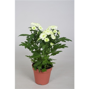 Chrysanthemum Chrysanne® 'Zembla Spray' Lime