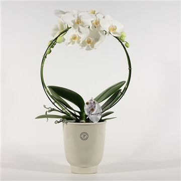 Phalaenopsis boog wit 2 tak in Anne Sophie (Decorum)