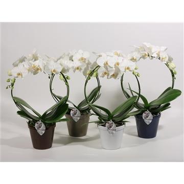 Phalaenopsis boog wit 2 tak in Conica (Decorum)