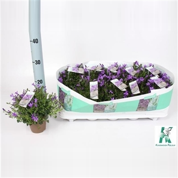 Campanula Ambella® Purple