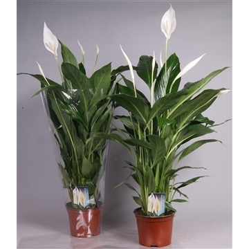 Spathiphyllum Cupido Compacto 17cm - blanke hoes
