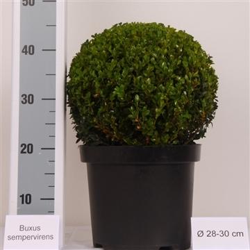 Buxus bol 28-30cm Zwarte pot