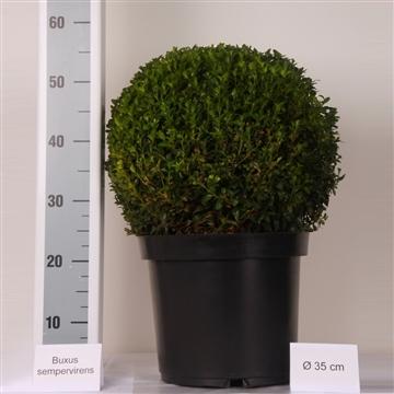 Buxus bol 35cm Zwarte pot
