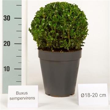 Buxus bol 18-20cm color pot