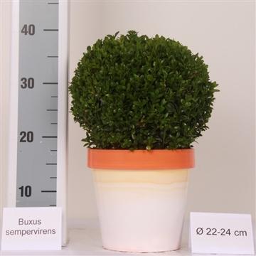 Buxus bol 22-24cm color pot