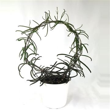 Bryophyllum Scandens on hoop
