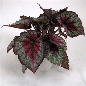Begonia Rex No. 256   'Joyful'