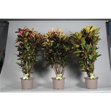 Croton vertakt gemengd in deco pot P35 (Decorum)