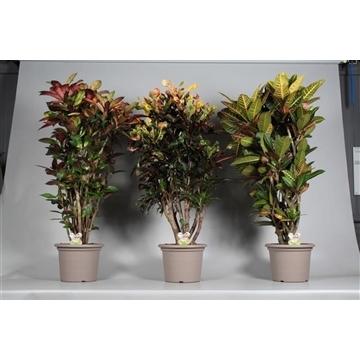 Croton vertakt gemengd in deco pot P35 (RUSSIA)