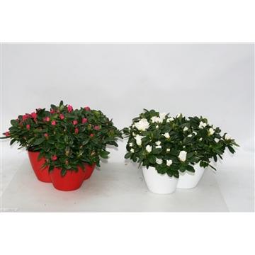 Azalea mix bloeiend 3xp12 in rode en witte coverpot PROMOTIE