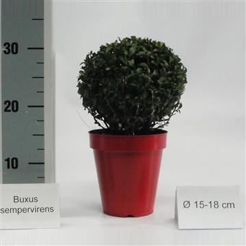 Buxus bol 15-18cm color pot