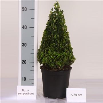 Buxus pyramide 30cm Zwarte pot