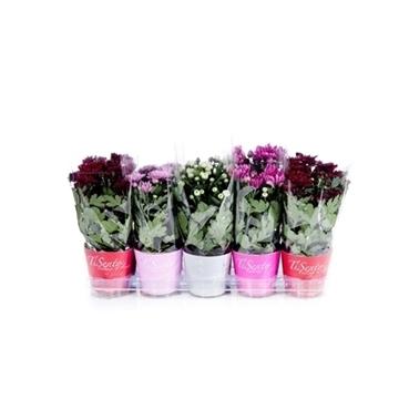 Tisento chrysant 12 cm valentijn in potcover
